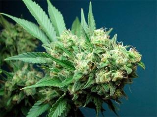 高樹沙耶 大麻最高発言